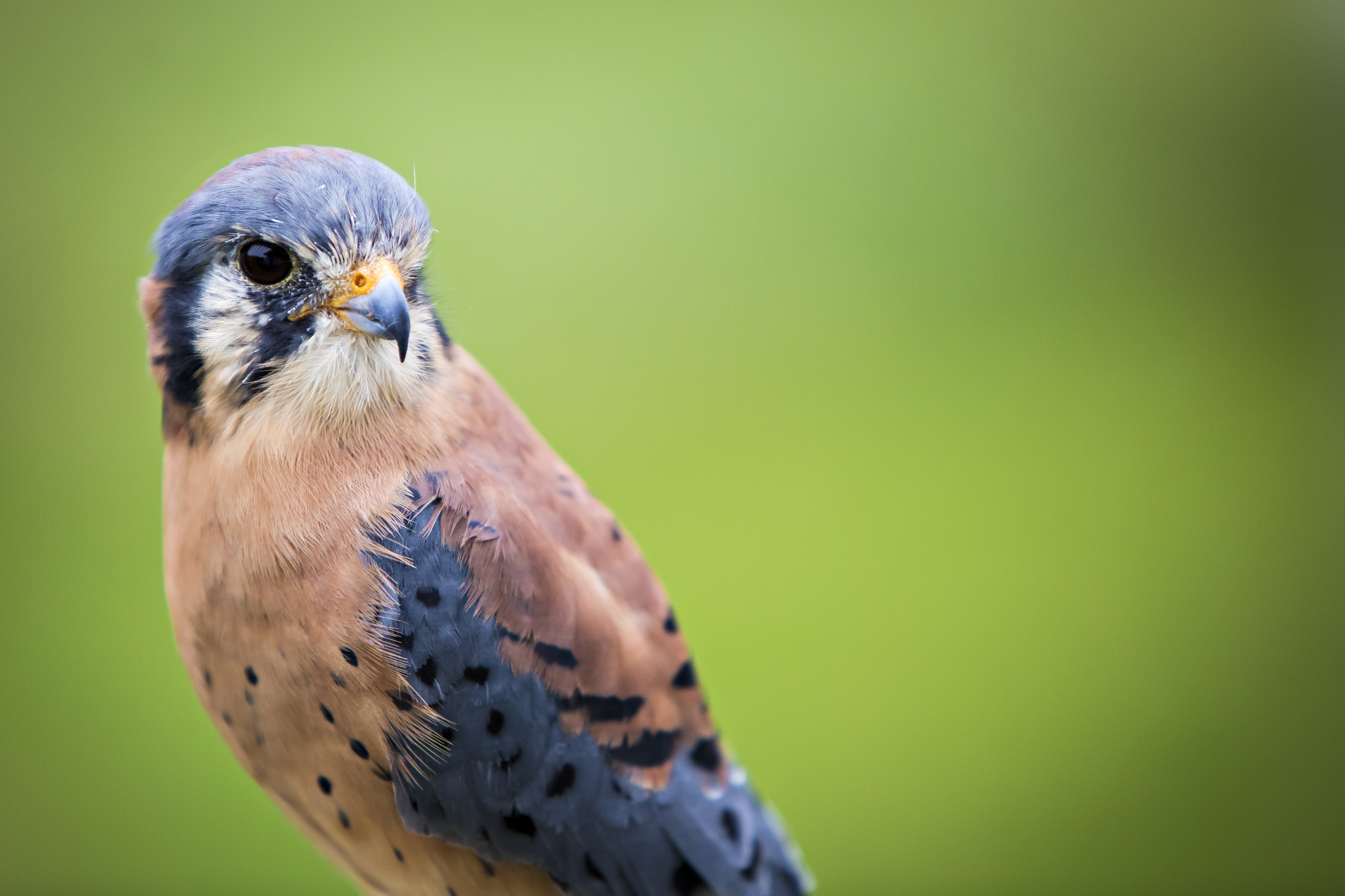 Hephaestus the American Kestrel at the Raptor Rehabilitation Project on the MU Campu