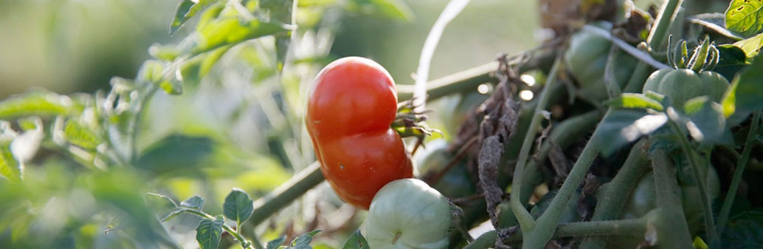 Photo of a ripe red tomato.
